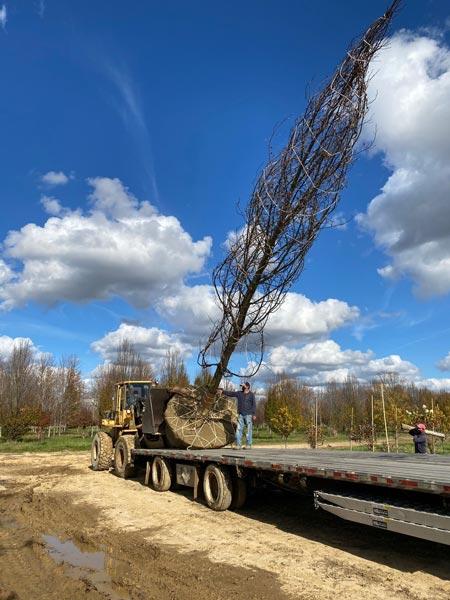 huge tree transplant